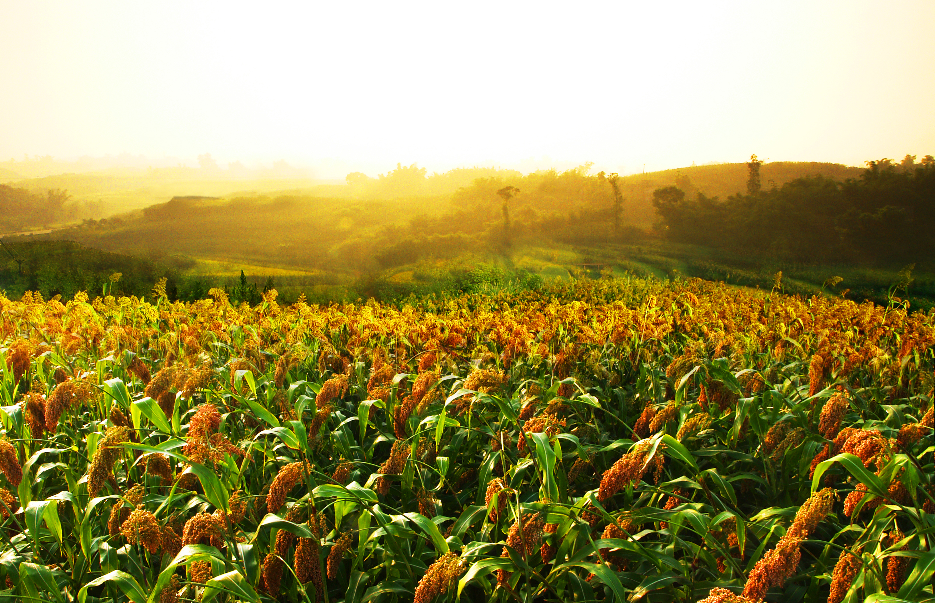 Sorghum fields near Luzhou Laojiao distillery